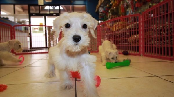 Good Looking Schnoodle Puppies For Sale In Atlanta Georgia Ga