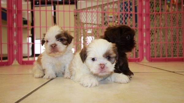 Handsome Teacup Chocolate Shih Tzu Puppies For Sale In Atlanta At
