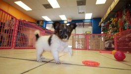 Papillon puppies for sale Georgia