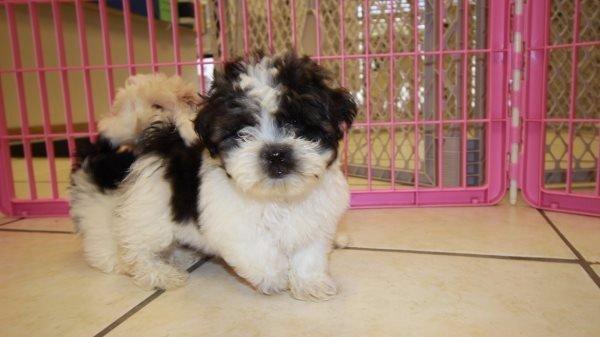 Fantastic Teddy Bear Puppies For Sale In Atlanta Bichon Frise Shih