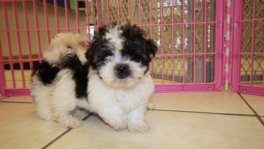 Non Shedding Teddy Bear puppies for sale Ga. Bichon Frise Shih Tzu puppy breeders georgia