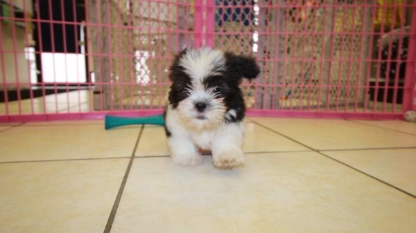 Affectionate Malti Tzu Puppies For Sale In Atlanta Georgia