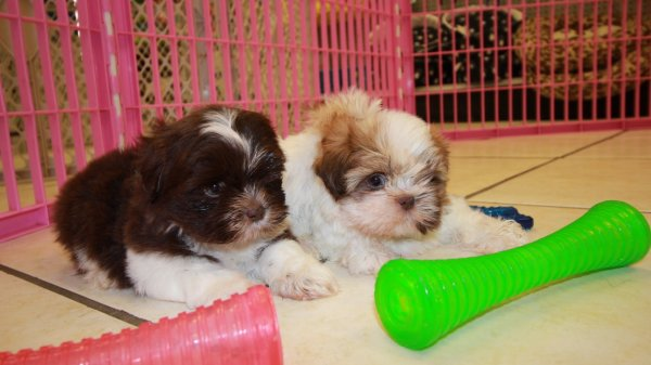 Imperial shih tzu puppies for sale in atlanta ga at puppies for sale local breeders - Imperial westies ...