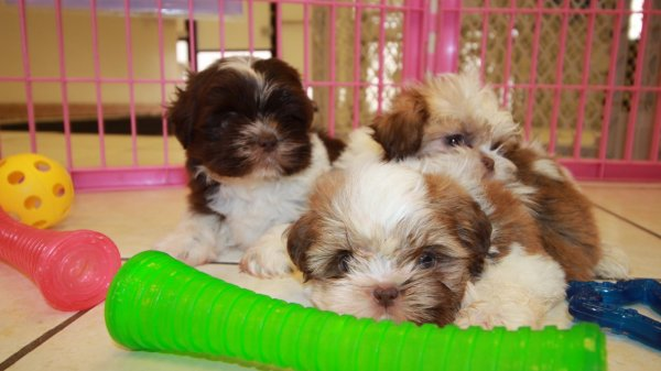 Adorable Imperial Shih Tzu Puppies For Sale Near Atlanta Ga At