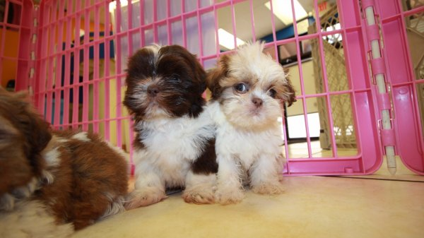 Adorable imperial shih tzu puppies for sale near atlanta ga at puppies for sale local breeders - Imperial westies ...