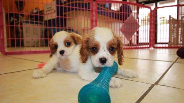 Charming Red & White, Cavalier King Charles Spaniel Puppies For Sale in Ga