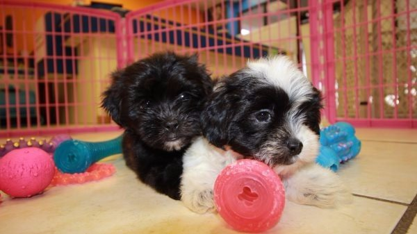 Amazing Malti Tzu Puppies For Sale In Atlanta Georgia, GA Mix of Maltese and Shih Tzu
