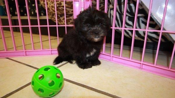 Amazing Malti Tzu Puppies For Sale In Atlanta Georgia Ga