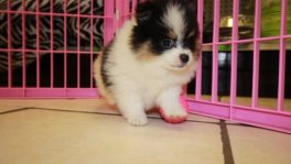 Tcup, Pomeranian puppies for sale in ga, tcup, pomeranian breeders in georgia