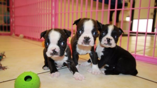 Huggable Boston Terrier Puppies For Sale In Ga