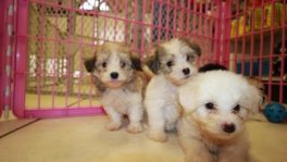 Yorkiechon puppies for sale Georgia Yorkshire Terrier Bichon Frise Breeders Ga