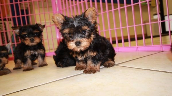 Wonderful TCup, Yorkie Puppies For Sale In Atlanta Area