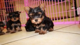 teacup yorkie, yorkshire terrier puppies for sale atlanta. Tcup Yorkie breeders georgia