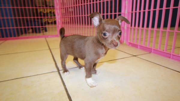 Handsome Tcup Chocolate Chihuahua Puppies For Sale In Ga