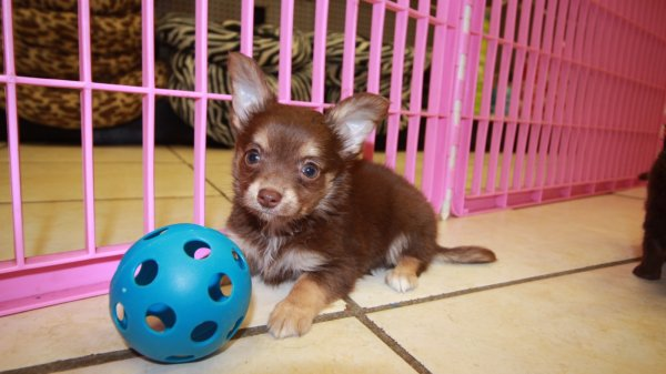 Handsome TCup, Chocolate, Chihuahua Puppies For Sale In Ga