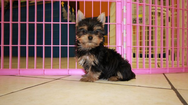Pretty Tea Cup Yorkshire Terrier Puppies For Sale In Georgia