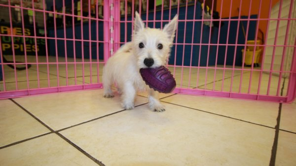 Wonderful West Highland White Terrier Puppies For Sale In Ga