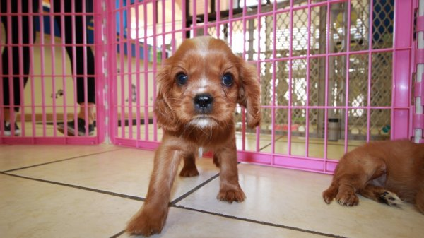 Amazing Ruby, Cavalier King Charles Spaniel Puppies For Sale in Atlanta