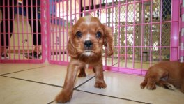 Cavalier King Charles Spaniel Puppies in Ga