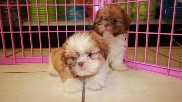 Cuddly Gold Shih Tzu Puppies For Sale In Ga At Puppies For Sale