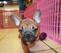 french bulldog (11)