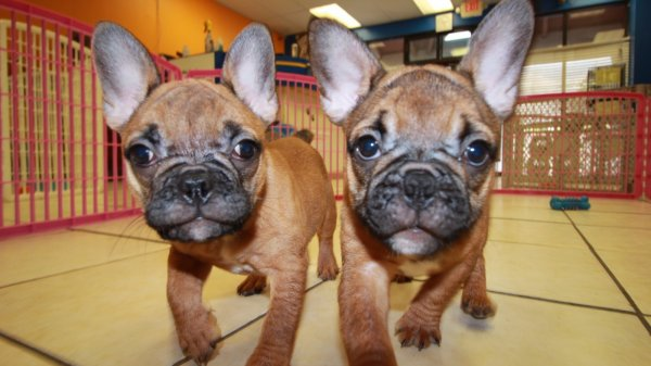 Loving Red Fawn, French Bulldogs Puppies Near Atlanta