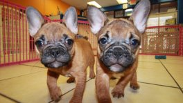 Red, French Bulldog Puppies For Sale in Georgia