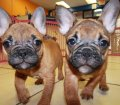 french bulldog (1)