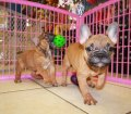french bulldog (4)