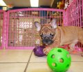french bulldog (6)