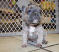 Rare Blue Lilac French Bulldog Puppies for sale in Georgia (7)