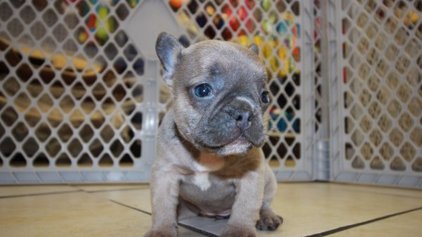 Huggable Lilac with Blue Eyes, French Bulldog Puppies Georgia