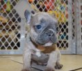Rare Blue Lilac French Bulldog Puppies for sale in Georgia (8)