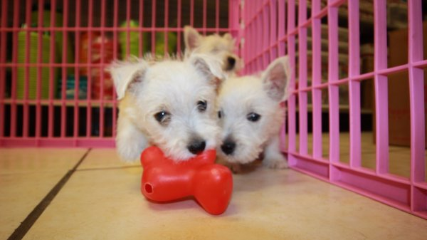 Cute Westie Puppies For Sale In Atlanta, Georgia at - Puppies For