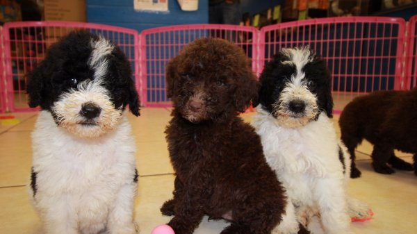 Precious Goldendoodle Puppies For Sale in Georgia
