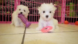 teacup maltese puppies for sale in georgia
