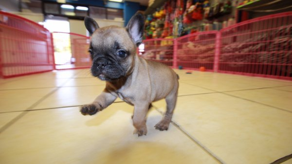 Nice Fawn, Black Mask, French Bulldog Puppies For Sale In Georgia