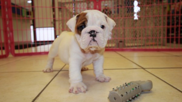 Handsome White, English Bulldog Puppies For Sale Near Atlanta