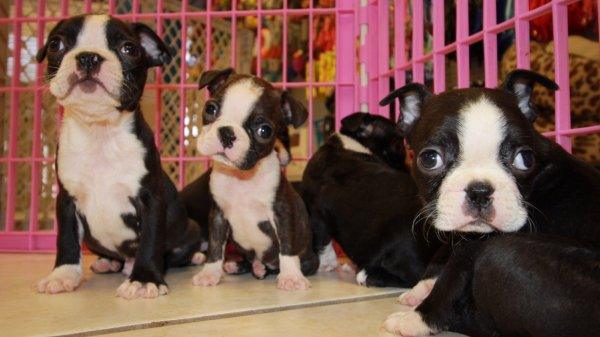 Wonderful Boston Terrier Puppies For Sale In Georgia