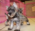 schnauzer puppies in georgia (27)