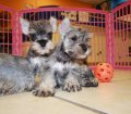 schnauzer puppies in georgia (4)