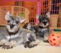 schnauzer puppies in georgia (5)