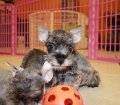 schnauzer puppies in georgia (6)