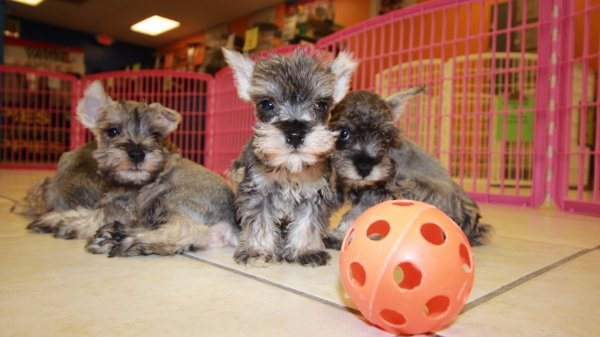 Cuddly Salt & Pepper, Miniature Schnauzer Puppies For Sale In Atlanta
