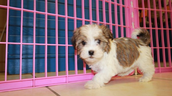 Good Looking Sable & White, Havanese Puppies For Sale Near