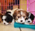 cavachon puppies in georgia (18)