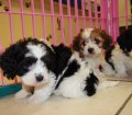 cavachon puppies in georgia (21)