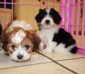 cavachon puppies in georgia (23)