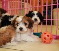 cavachon puppies in georgia (2)