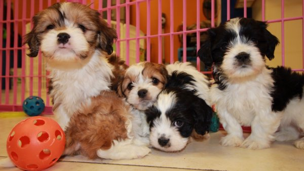 Snuggly Cavachon Puppies For Sale In Georgia